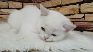 Шотландский котёнок с голубыми глазами.
