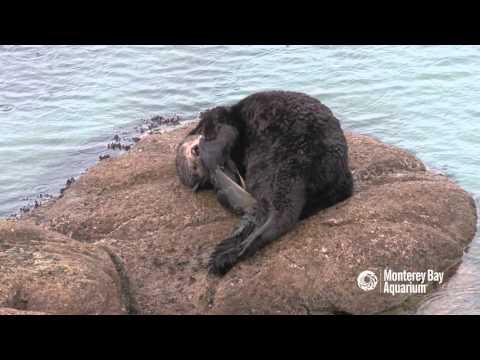 Sea otter gives birth outside the Aquarium!