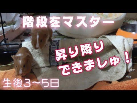 生後3~5日【モルモット】階段の昇り降りが出来るようになったベビちゃん【guineapig】