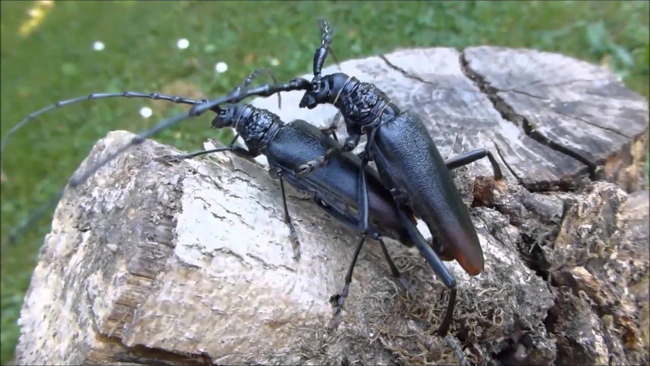 Accouplement du Grand capricorne du ch u00eane (Cerambyx cerdo, par André Lequet (www insectes net fr  # Capricorne Du Bois