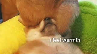 Bootyful hat for Hiro   - Shiba Inu puppies (with captions)