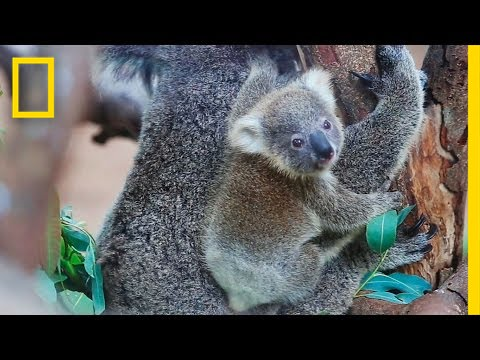 Koala Bears Arent Actually Bears  National Geographic