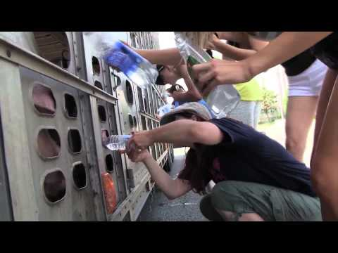 PIG ABUSE - LIVE Transport Truck HOT no WATER upto 50 hrs (Vegetarian Animal Welfare Dogs Meat Bacon