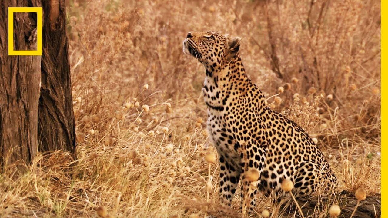 Download Ce léopard grimpe à plus de 10 mètres pour chasser