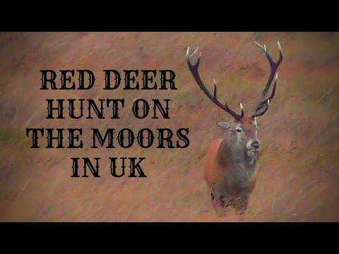 RED DEER STAG HUNT ON THE UK MOORS