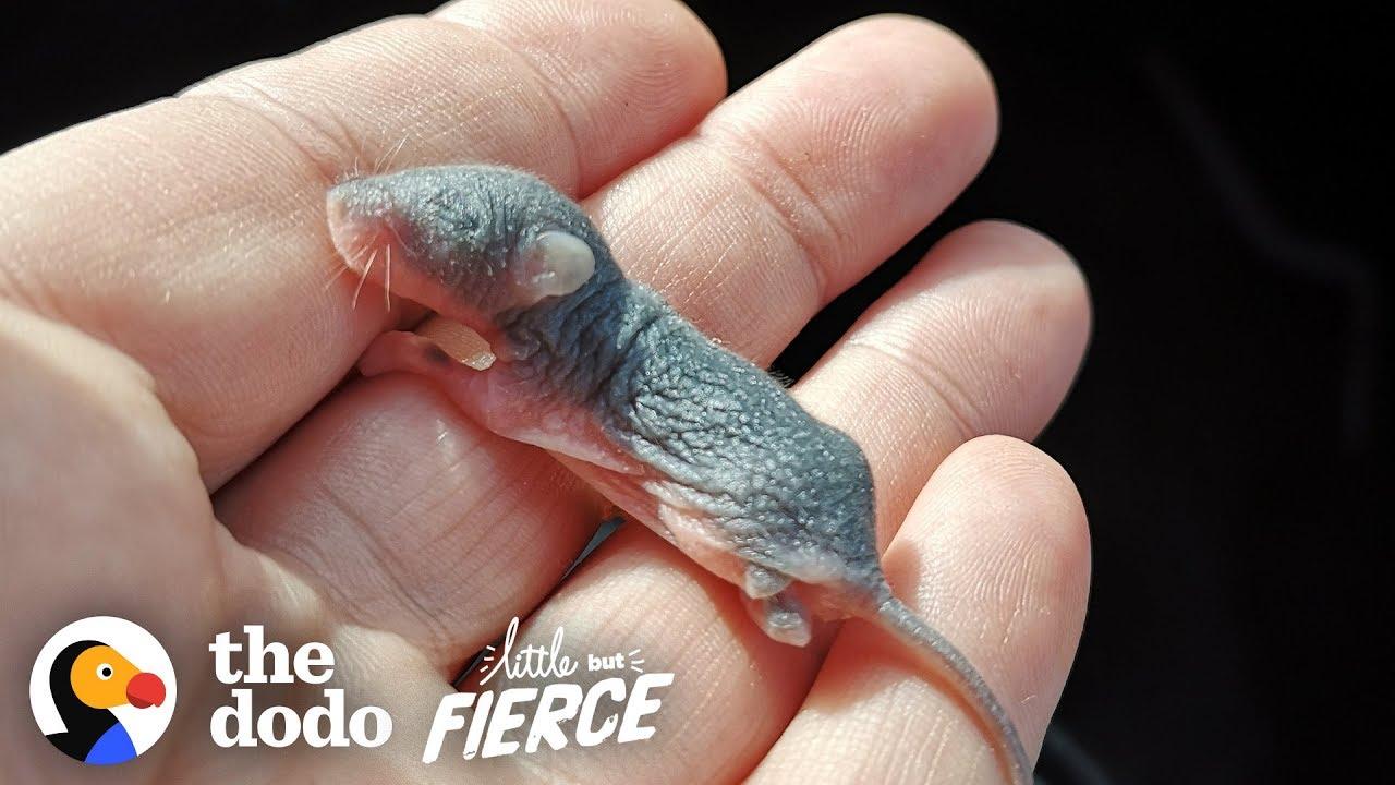Watch The Teeniest Baby Deer Mice Grow Up In 30-Day Time-lapse | The Dodo Little But Fierce