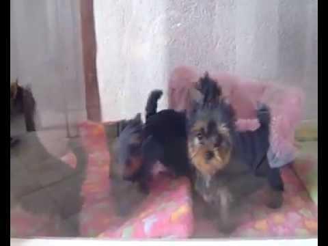 elevage de yorkshire terrier toy - YouTube