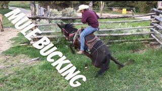 MULE BUCKS ME OFF! -Mule Ranching Vlog #1
