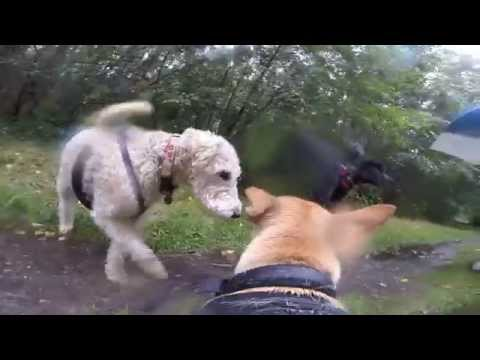 Sky Cam : GoPro Dog Harness!