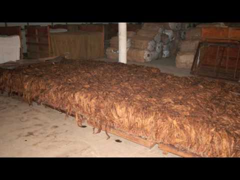 Cigar Tobacco: Curing and Fermentation