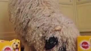 Овца считает себя собакой   CCTV Русский