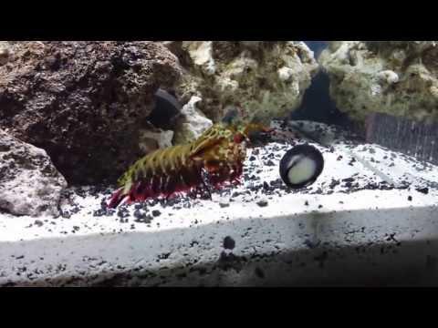 O. scyllarus Mantis shrimp attacking a snail on the tank glass