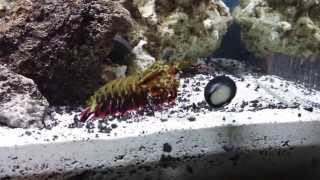O. scyllarus Mantis shrimp attacking a snail on the tank glass