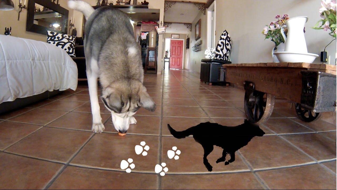 Husky Runs to His Favorite Things!