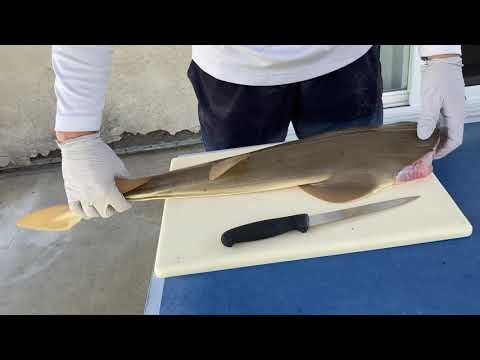 Fillet A Guitarfish- How To Fillet A Shovelnose Guitarfish Or Shovelnose Shark