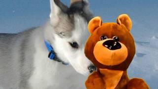 Медвежонок Умчик: почему моя собака виляет хвостом?