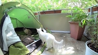Tutorial:  How to Get a Cat Used to Sleeping Outdoors in a Tent