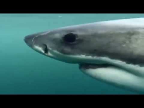 Wild Animal Documentary  National Geographic   White Shark Outside the Cage