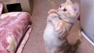 マンチカン猫さん 立ち上がってパンチの連打 Munchkin Cat stands up and punches it