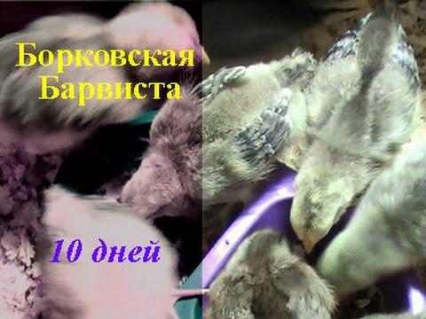 Содержание Кормление цыплят Борковская Барвиста