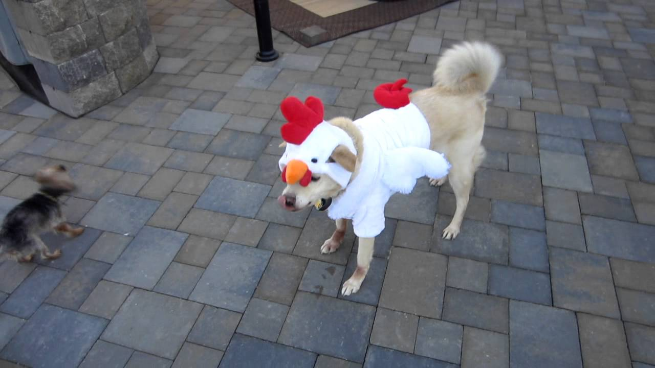 Dog in a Chicken / Rooster Halloween Costume D & Dog in a Chicken / Rooster Halloween Costume :D - YouTube