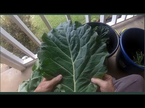 How To Prepare Collard Greens for Cooking or freezing Pwalpar VLOG