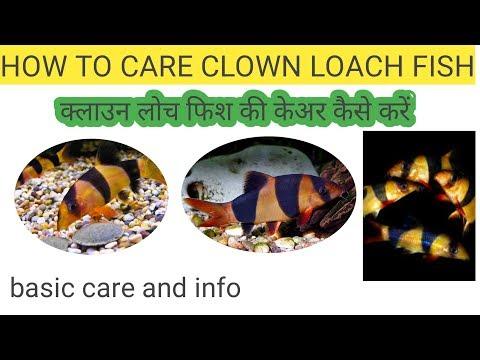 How To Care Clown Loach Fish || Clown Loach