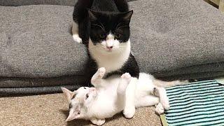 怒る子猫を離したくない猫