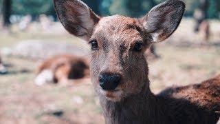 Nara, Japan: Where the Deer Bow Politely