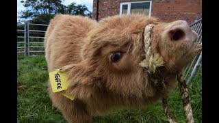 Tagging Highland Calves, Don't Try This At Home! Lytham Festival