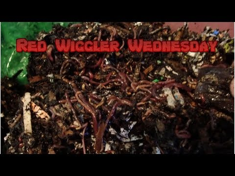 Red Wigglers | Horizontal Migration 10-9-19