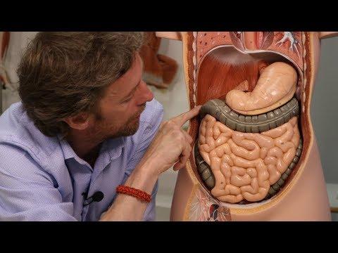 Abdominal organs (plastic