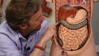 Abdominal organs (plastic anatomy)