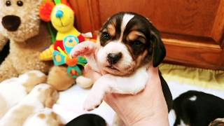 Lemon and Tricolor Beagle puppies at 2 weeks! Rensie x Crockett