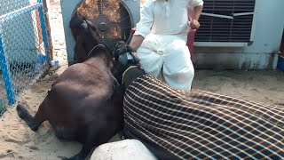 WORLD RECORD OF 300KG GOAT IN FAISALABAD BAKRA SHOW 2018