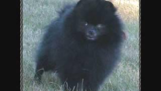 Beau James Pomeranian Colors Vol 1