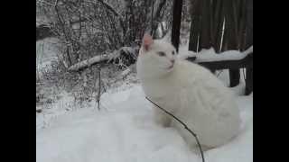 Белый кот с разными глазами на природе Снег