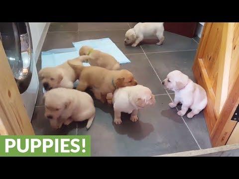 Golden Labrador puppies deliver cuteness overload