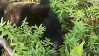 Медведь в Двуреченске никого не ел.