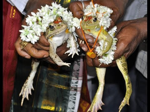 Karnataka: Wedding of frogs for rains and respite from scorching heat