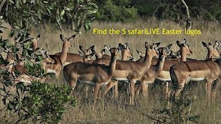 safariLIVE - Sunrise Safari - April 21, 2019