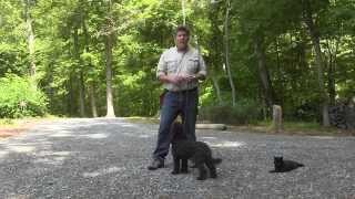 Winston Salem Puppy Training   Labradoodle Puppy Training   Cocoa