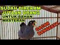 Masteran Pancingan Burung Jalak Kebo Paling Ampuh  Mp3 - Mp4 Download