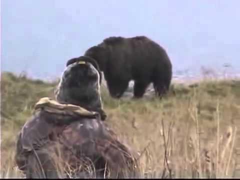 ОХОТА на МЕДВЕДЯ реальная охота Extreme Bear Hunting in Kodiac   Grizzly Bear Caccia all'orso Chasse
