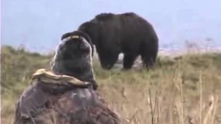 ����� �� ������� �������� ����� Extreme Bear Hunting in Kodiac   Grizzly Bear Caccia all'orso Chasse