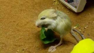 Daily life of Pigmy Jerboa