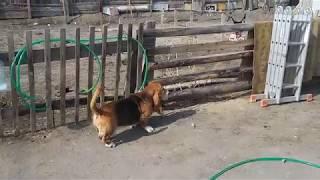 Собака породы бассенд хаунд