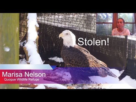 STOLEN EAGLE-  Bald Eagle With Amputated Wing - Please Help - $17,500 Reward