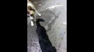 Buddy (labradoodle)w/ Hachi (akita)working On Off Leash@ 4mo#4(service Dog)