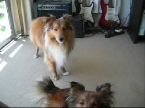 Sheltie Talk - Hear Our Shetland Sheepdogs Sing!